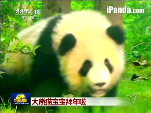 新闻联播超萌结尾:大熊猫宝宝拜年截图