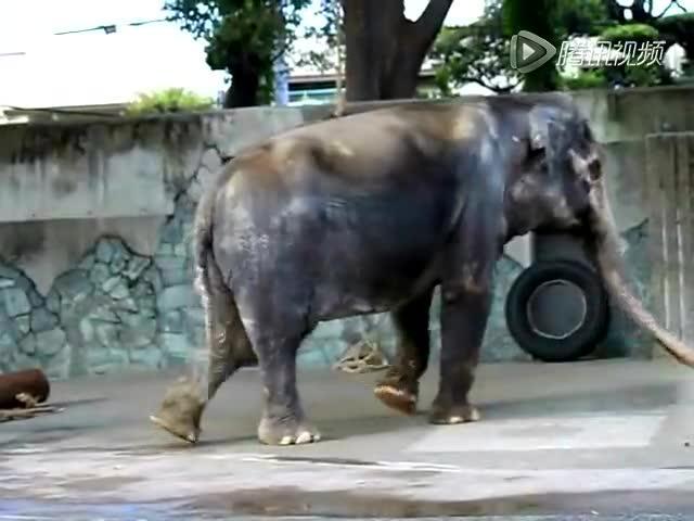 世界上最孤独的大象:日本动物园中独居66年