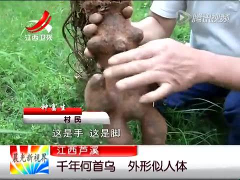 村民采获巨型似人形何首乌 估计有千年历史截图
