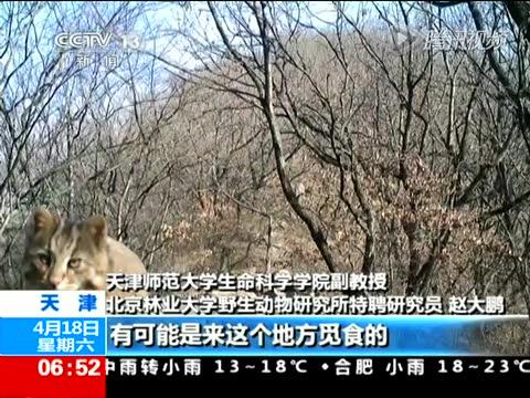 红外相机白天拍摄到夜行动物豹猫截图