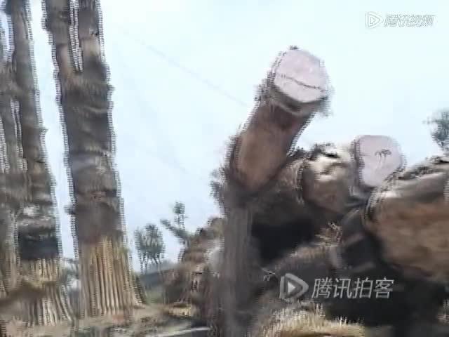 合肥98棵从越南引进天价紫薇树集体死亡