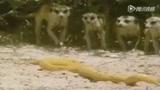 猫鼬猎杀眼镜王蛇