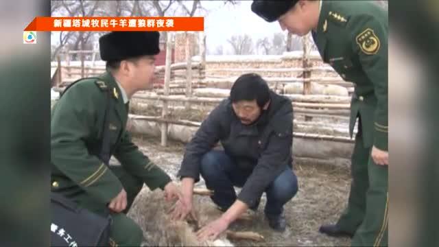 新疆塔城牧民牛羊遭狼群夜袭截图