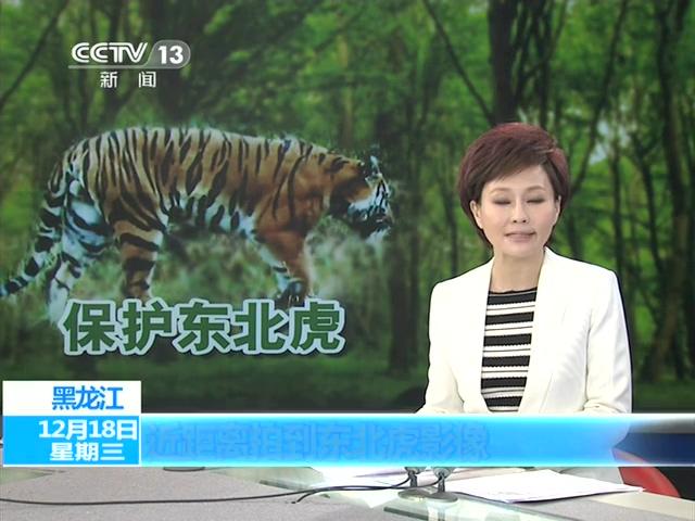 黑龙江首次捕捉到野生东北虎高清影像截图