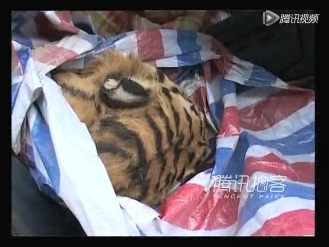 实拍温州警方越野车内查获老虎尸体截图
