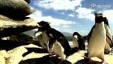 笑死人笨企鹅极限滑倒合集 不分老幼齐卖萌