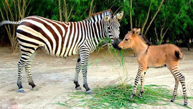 斑驴已经不稀奇 长颈鹿和斑马杂交的神兽
