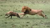 动物世界狮子大战老虎