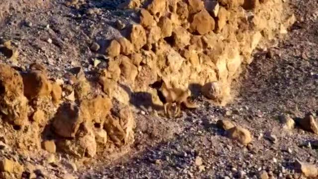 动物的本能!被狐狸追赶到悬崖绝境的山羊幼崽绝地逃生