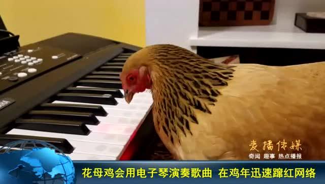 花母鸡会用电子琴演奏歌曲图片