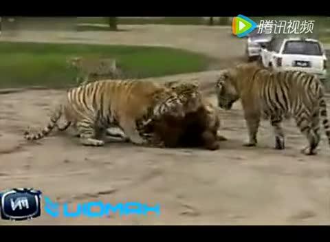美国动物园里放活牛给老虎吃的现场