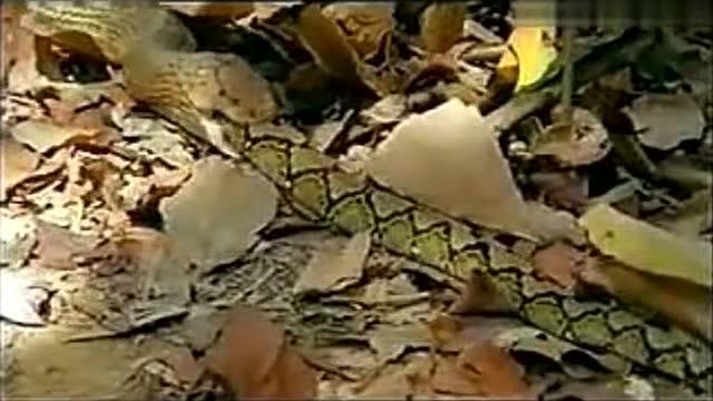 眼镜蛇(王蛇)与大蟒蛇的搏斗,最后输的被吞了下去