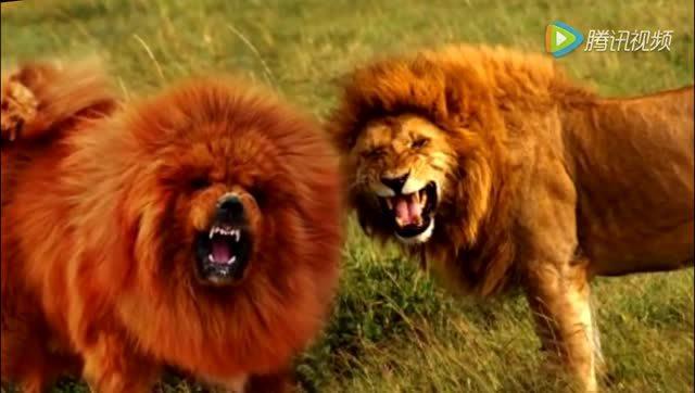 狮子大战鬼獒_鬼獒与狮子大战东达新闻网