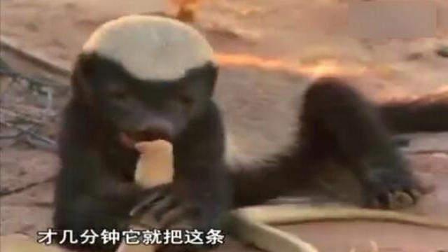 非洲蜜獾,这才是真正的食物链顶端的动物