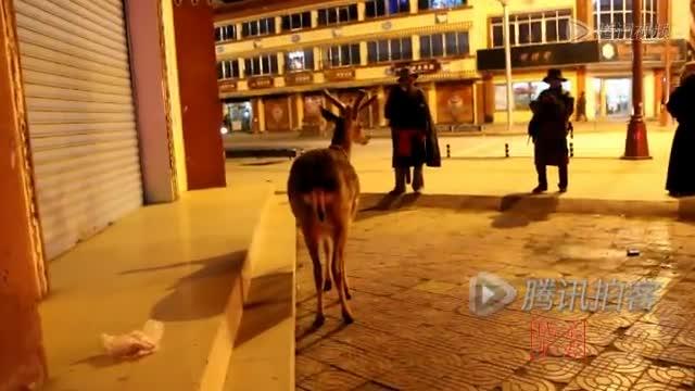 珍稀梅花鹿夜闯城市 与市民温馨相处