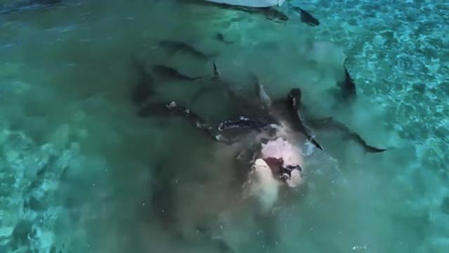 真吓人:70头虎鲨分食鲸鱼的残忍画面