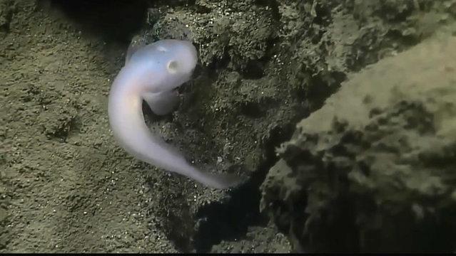 """世界最深海沟发现神秘""""鬼鱼"""":似外星生物"""