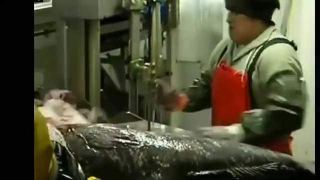 切割巨魚:太危險,太恐怖了!