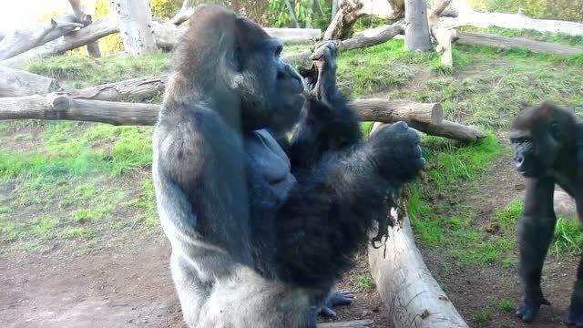 惊呆了!大猩猩拽出屎来一起吃
