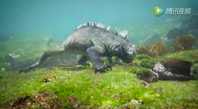 """实拍现实版""""哥斯拉""""怪兽现身太平洋 长两米"""