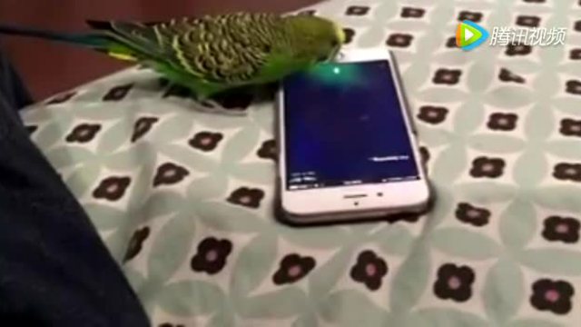 這只鸚鵡能輕松的使用Siri,并輕松交談?