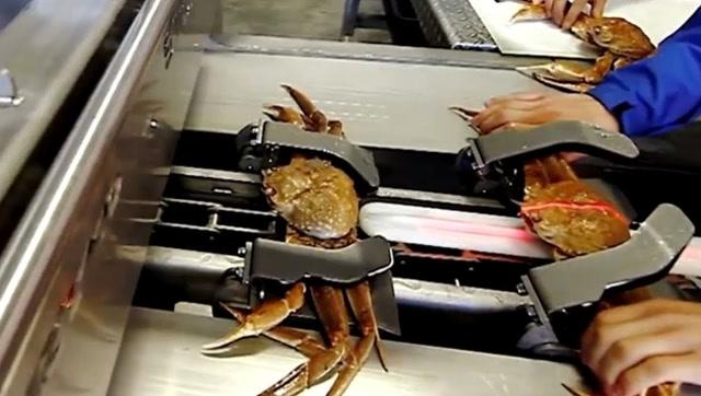 螃蟹加工流水线:原来进口的螃蟹是经过这样加工的
