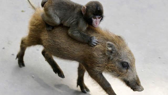 非洲人训练猴子捕猎野猪图片
