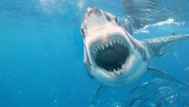 巨齿鲨生死谜,因找不到足够的食物灭绝
