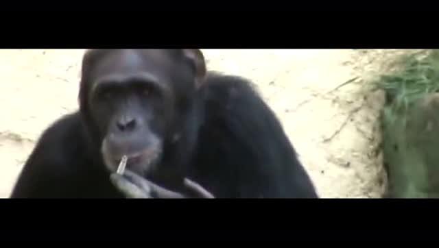 朝鲜动物园19岁大猩猩抽烟