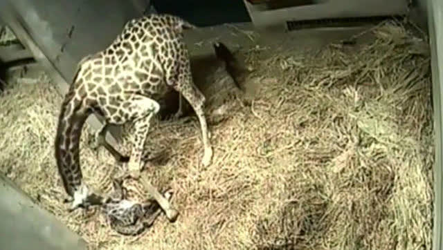 重庆动物园小长颈鹿降生:监控记录下过程