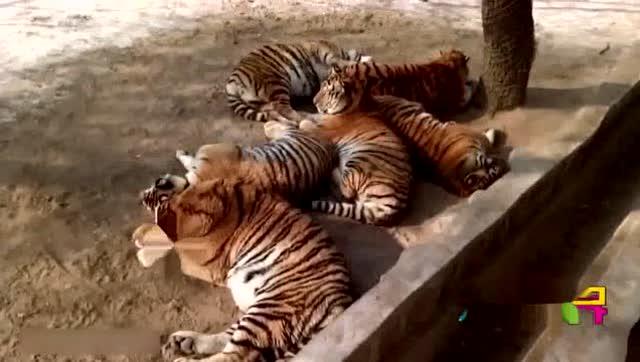 """动物园东北虎骗游客肉吃,今变""""肥猫"""""""