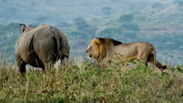 动物世界最惨烈战斗,8只狮子大战一头犀牛!