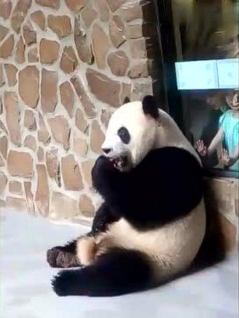 动物园里的大熊猫喜兰 消失的二爷叼着窝头出现了