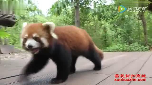 萌萌哒小熊猫!