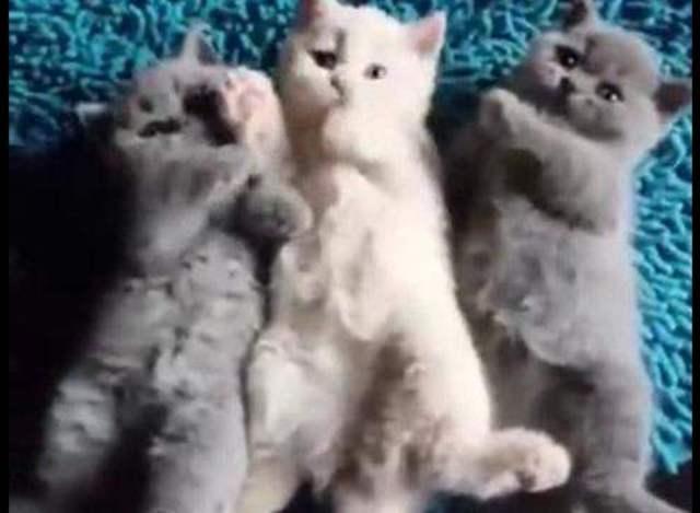 黑白配男生女生配!三只可爱的小猫咪