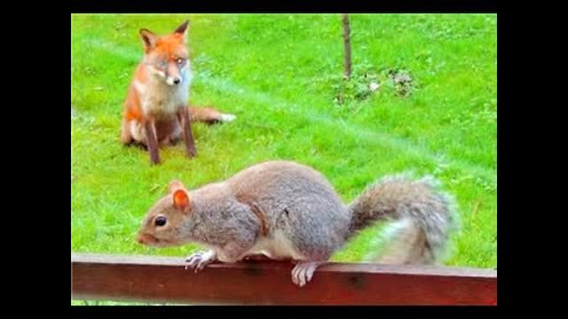 英松鼠被狐狸追 敲窗求助小表情萌哭我了