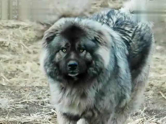 巨型高加索猎狼犬囹�a_巨型高加索犬