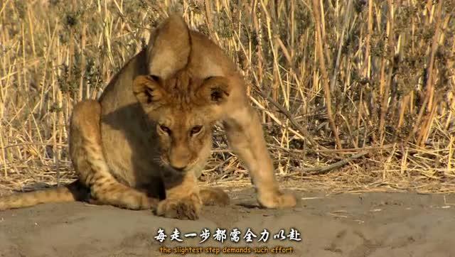 壁纸 动物 虎 老虎 狮子 桌面 640_362