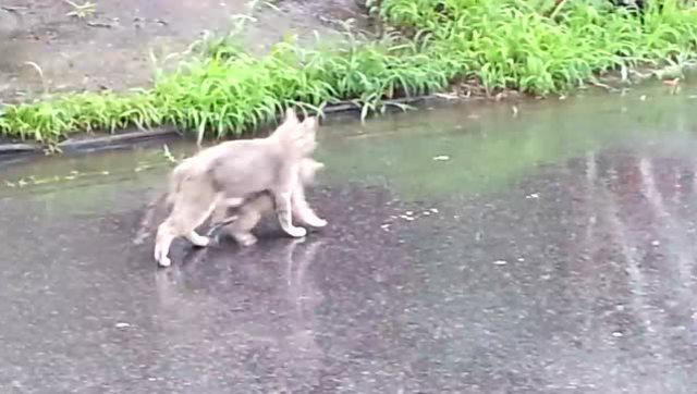 母爱的伟大!怕孩子淋雨着凉,猫妈叼着小猫躲雨
