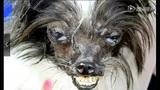 全球最丑狗冠军 凸眼暴牙奇丑无比!