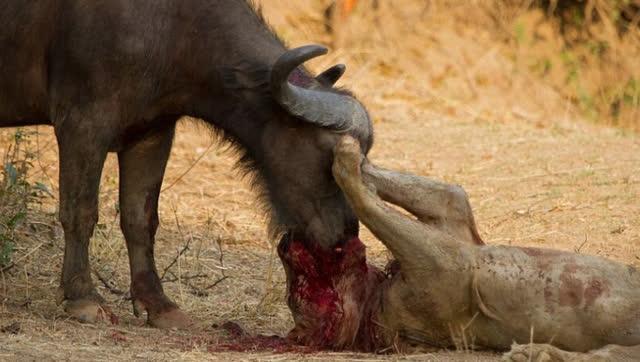 狮子惹上非洲最致命动物:900公斤大水牛