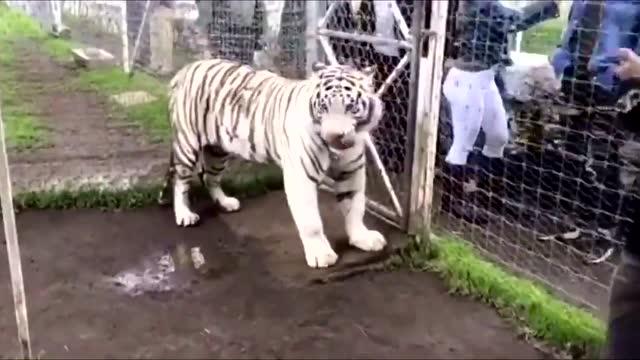 女游客自行下车被野生动物园白虎咬死