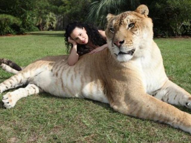世界最大的猫科动物:狮子与老虎的杂交