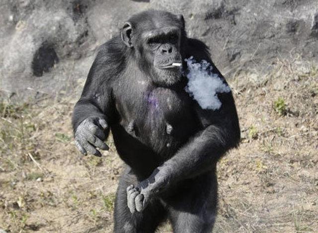 朝鲜动物园大猩猩每天一包烟