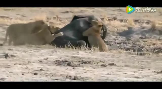 史上最疯狂的动物打斗镜头捕捉画面!