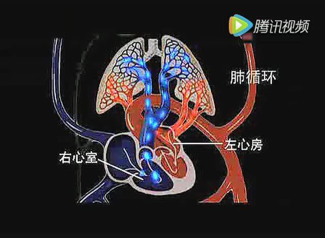 心脏的结构与血液循环