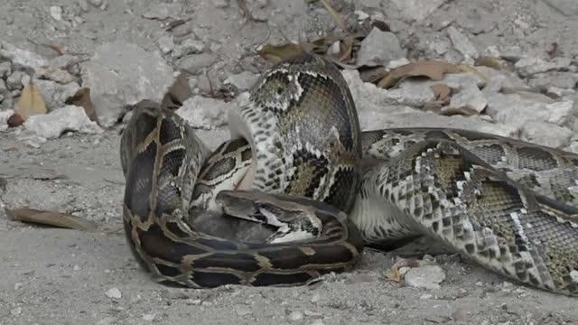 实拍小蟒正猎食老鼠 随后跟来的大蟒蛇把老鼠和小蟒一起吞了