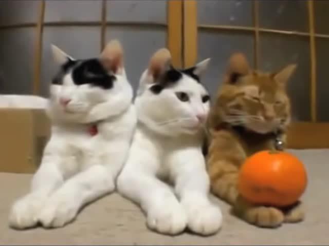 三只可爱的小猫咪的爪爪被主人用橙子压住