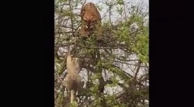 饥饿老虎爬树上想吃猴子