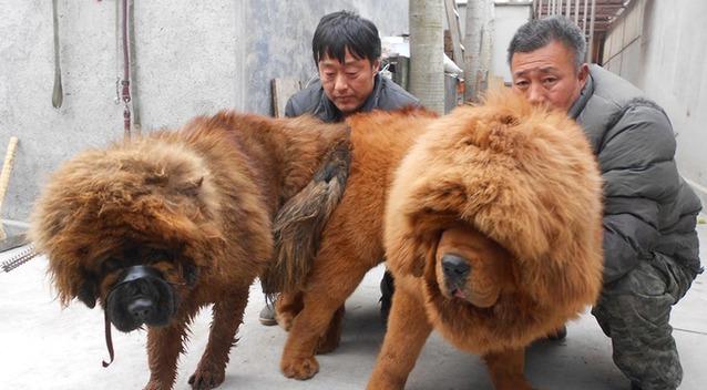 藏獒吃主人_藏獒没吃饱撕咬主人 警察开6枪击毙